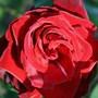 Die Liebe und die rote Rose ...
